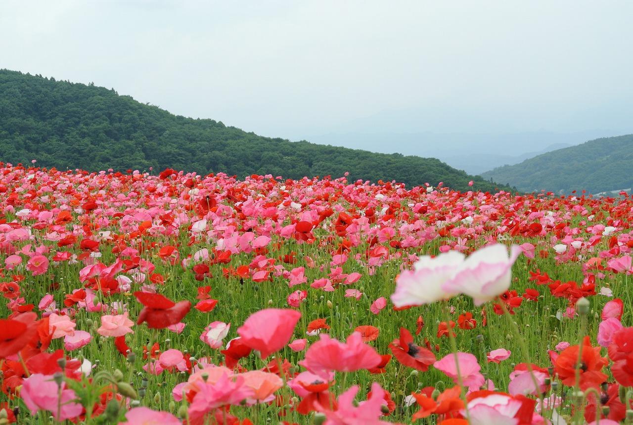 東秩父の高原に咲くポピー