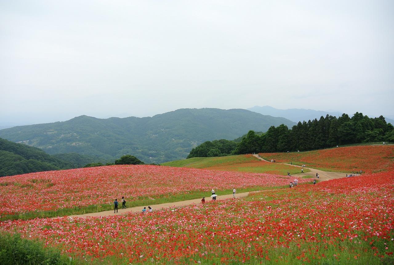 1000万本のポピーが咲き誇る東秩父の高原
