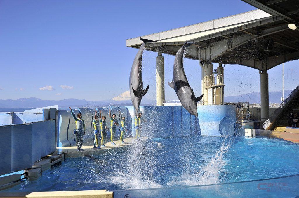 新江の島水族館のイルカショー