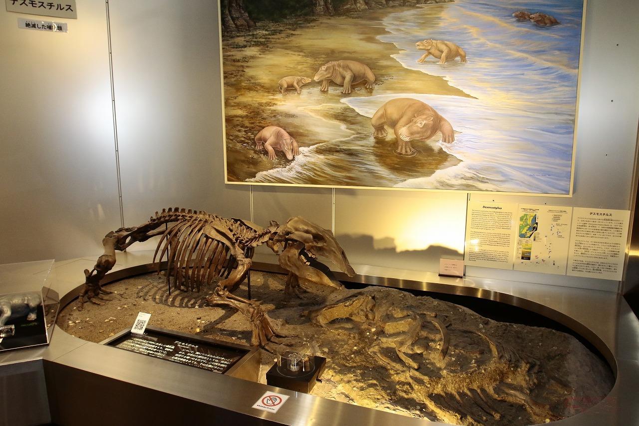 デスモスチルスの化石(レプリカ)